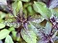 Ocimum basilicum 1627.jpg