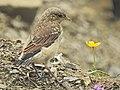 Oenanthe oenanthe, juvenile, Popasul Uriașilor, Romania (29053079888).jpg