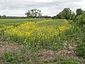 Oilseed rape in flower, view to Alnwick Farm - geograph.org.uk - 429118.jpg