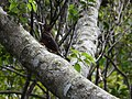 Okinawa woodpecker 3.jpg