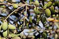 Olives (PICHOLINE) CL. J Weber (5) (23158693712).jpg