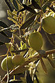 Olives (UOVO PICCIONE) Cl J Weber (4) (22780303589).jpg