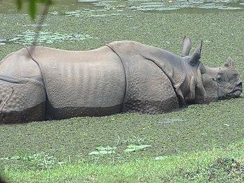 One horn Rhino.jpg