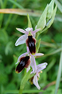Ophrys lunulata zingaro 122.jpg