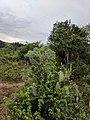 Opuntia stricta k2.jpg