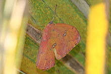 Orange-Barred Sulphur (Phoebis philea), ventral.jpg