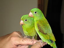 Orange-chinned Parakeet (Brotogeris jugularis)12.jpg
