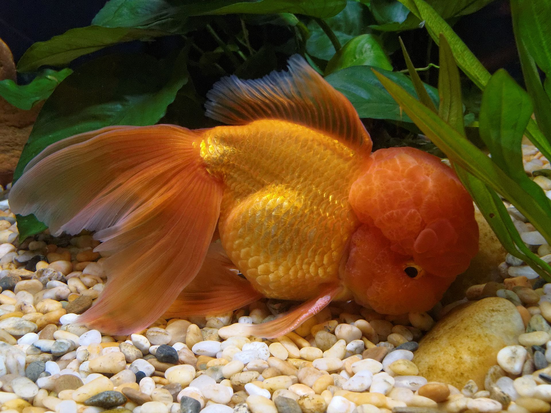Oranda wikipedia for Goldfish varieties for ponds