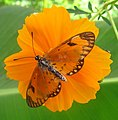 Orange butterfly on orange flower.jpg