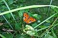Orange peacock.jpg
