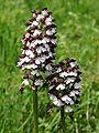Orchis purpurea Saarland 016.jpg