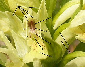Parts of a flower of Dactylorhiza sambucina 1=...