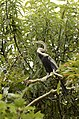 Oriental Darter Anhinga melanogasterfrom Ranganathittu Bird Sanctuary JEG4415.JPG