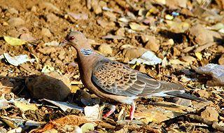 Oriental turtle dove species of bird