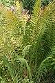 Osmunda cinnamomea 17zz.jpg