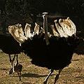 Ostrich-Struthio camelus.jpg