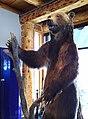 Ours grizzli empaillé, parc national de Banff.jpg