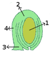 Ovule morphology anatropous.png