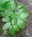 Oxydendron arboreum-foliage.jpg