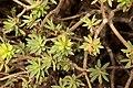 Pájara - FV-30 - Euphorbia balsamifera 06 ies.jpg