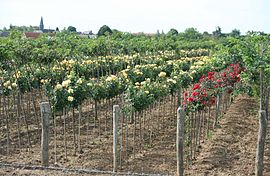 A rosegrowing nursery in Caillouet-Orgeville