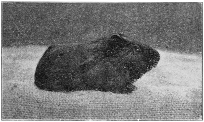 File:PSM V76 D423 Three week old guinea pig.png