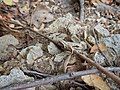 Pacific tree frog (19329823026).jpg