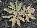 Paeonia mascula 2016-04-19 7730.JPG