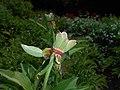 Paeonia mascula 2016-05-20 0891.jpg