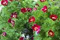 Paeonia tenuifolia.jpg