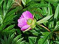 Paeonia vetchii fleur2.jpg