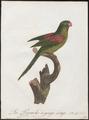 Palaeornis incarnatus - 1796-1808 - Print - Iconographia Zoologica - Special Collections University of Amsterdam - UBA01 IZ18500069.tif