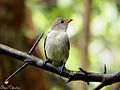 Pale billed Flowerpecker1.jpg
