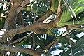 Pandanus utilis 29zz.jpg