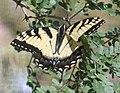 Papilio - Desert Botanical Garden.jpg