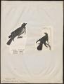 Paradisea atra - 1700-1880 - Print - Iconographia Zoologica - Special Collections University of Amsterdam - UBA01 IZ15700159.tif