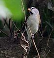 Paradoxornis gularis (cropped).jpg