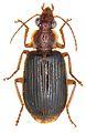 Paraphaea formosana - ZooKeys-284-001-g001-2.jpeg