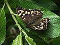 Pararge aegeria - Speckled wood - Эгерия (39355041610).jpg