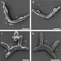 Parasite170078-fig4 Cichlidogyrus philander (Monogenea, Ancyrocephalidae).png