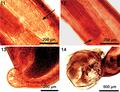 Parasite180037-fig4 FIGS 11-14 Pararhadinorhynchus magnus.png