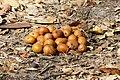 Parinari curatellifolia (fruit).jpg