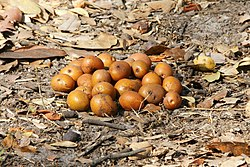 Parinari curatellifolia (fruit).jpg