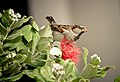 Passer domesticus -Auckland, New Zealand -male-8.jpg