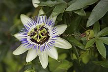 220px Passionflower2 Passionflower