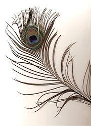 Pavo cristatus feather-scan.jpg