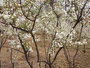 Peach flower white