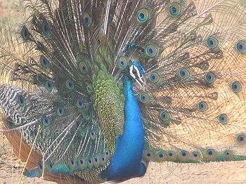 Peacock13.jpg