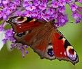 Peacock Butterfly 2 (7822789054).jpg