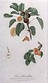 Pear (Pyrus species); fruiting branches with halved fruit. C Wellcome V0043147.jpg